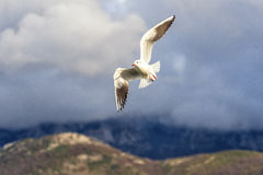Seagull. Fly above the river royalty free stock image