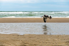 Seagull in fly above the stormy sea with waves breaking  on the wet sandy shore Stock Images