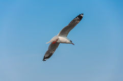 Seagull fly. Against blue sky background Stock Photography