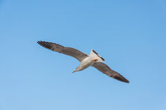 Seagull fly. Against blue sky background Royalty Free Stock Image