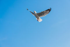 Seagull fly. Against blue sky background Stock Images