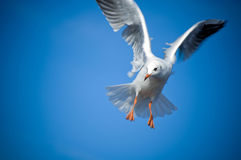 Seagull. Fly and a blue sky Stock Image