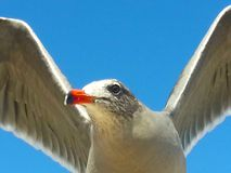 Seagull fly blue sky wings open close up orange beak royalty free stock image