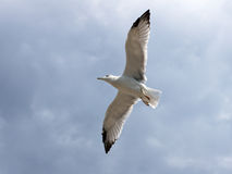 Seagull in the fly Royalty Free Stock Images