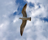Seagull in the fly Stock Images
