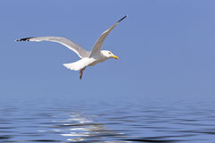 Seagull  fly over ocean Royalty Free Stock Images