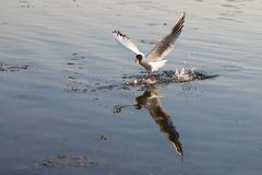 Seagull fly over water royalty free stock photos