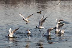 Seagull fly over water. royalty free stock photo