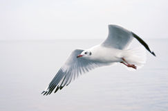 Seagull fly on the sea. Seagull fly alone on the sea Stock Image