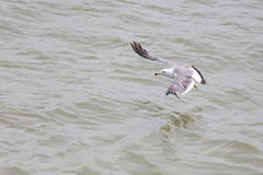 Seagull fly royalty free stock photo