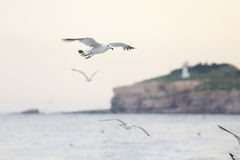 Seagull fly royalty free stock images