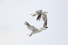 Seagull fly stock photo