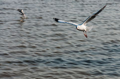 Seagull fly. Sea at background Stock Images
