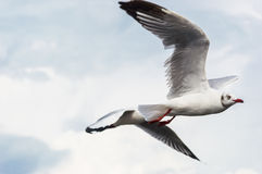 Seagull fly. Seagulls flying gracefully on the sky Stock Photos