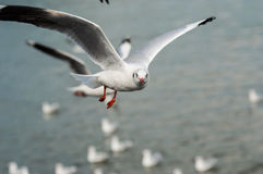 Seagull fly. Seagulls flying gracefully on the sky Royalty Free Stock Photography