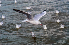 Seagull fly. Seagulls flying gracefully on the sky Stock Photo