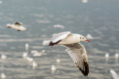 Seagull fly. Seagulls flying gracefully on the sky Royalty Free Stock Photo