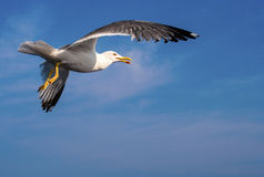 Seagull. Fly of a Seagull, Thassos, Greece Stock Photo