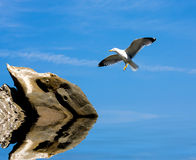 Seagull fly to stone Stock Image
