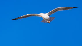 Seagull fly Stock Images