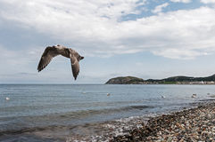 Seagull Flyby. Seagull flying by at the shoreline on traditional british pebble beach. Llandudno Royalty Free Stock Images