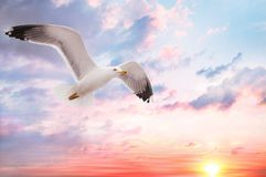 Seagull at sunset. A seagull flyes at sunset royalty free stock photo