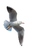 Seagull flyimg isolation Stock Photography