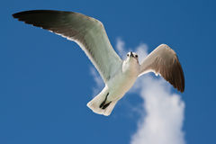Free Seagull Flying Royalty Free Stock Photography - 11353217