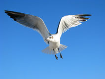 Free Seagull Flying Stock Photos - 12939443