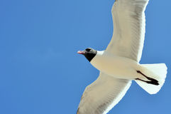 Seagull flying. Black and white seagull soaring above, with blue sky in background. The gull is an adult laughing gull Royalty Free Stock Image