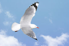 Seagull flying. Beautiful red billed seagull in flight, wings outstretched royalty free stock photography
