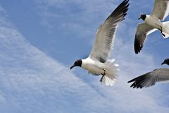 Seagull is flying Royalty Free Stock Images