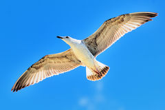 Seagull flying royalty free stock photography