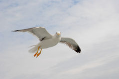 Seagull flying by. A seagull flying by and looking to you Royalty Free Stock Photos