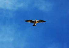 Seagull flying. A flying seagull in front of blue sky background Stock Images