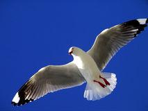Seagull flying. Overhead. I'm his birds eye view stock photos