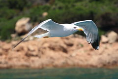Seagull flying. A eagull flying over the sea in Sardinia Royalty Free Stock Photography
