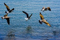 Seagull flying. Seagulls birds over the blue sea, high contrast picture Royalty Free Stock Images