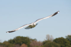 Seagull flying. Royalty Free Stock Photos