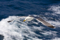 Seagull flying above the Aegean sea Royalty Free Stock Photo