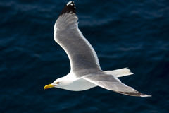 Seagull flying above the Aegean sea Royalty Free Stock Photos