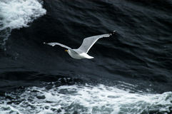 Seagull Flying Above Ocean waves Royalty Free Stock Photography