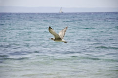 Seagull flying. Above the sea Stock Photo