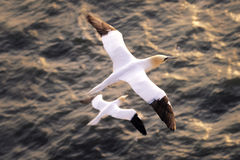 Seagull flying above the sea. Big white seagull flying above the sea, view from above Royalty Free Stock Photography