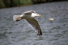 Seagull Flying Above the Sea during Day Time Stock Images