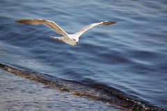 Seagull flying above sea Stock Photo