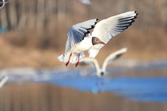 Seagull flying above water stock photos