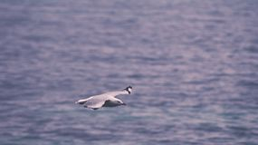 Seagull Flying Across Body of Water Royalty Free Stock Images
