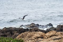 Seagull flying across the sea with wings wide open. At Punta del Este, Uruguay Royalty Free Stock Images