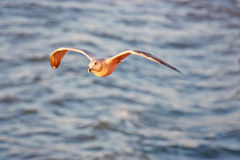 Seagull flying across the water. Seagull flying across the ocean water as the sun sets Royalty Free Stock Image